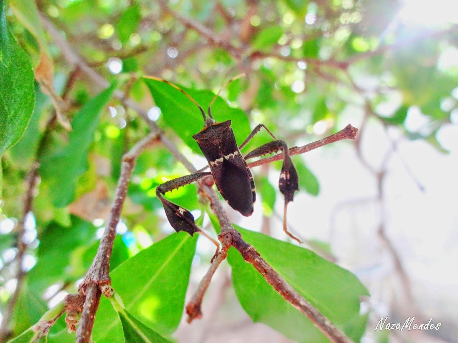 Zonatus, Leptoglossus, Coreidae, Hemiptera,