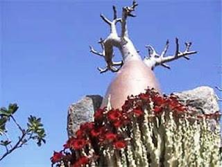 Socotra Plants