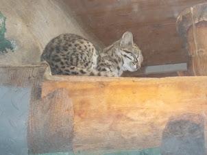Tiger cat in Prague Zoo.