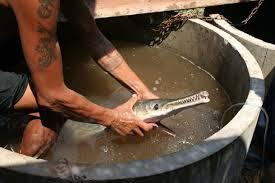 Ikan Berwajah Buaya Dijumpai Dan Ditangkap Di Thailand