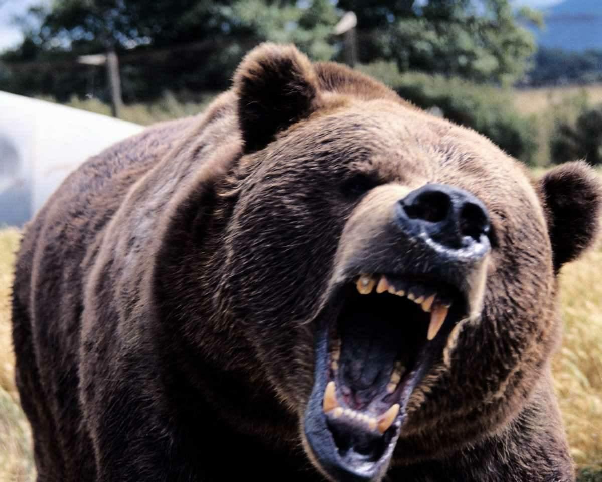 Black bear head profile - photo#8