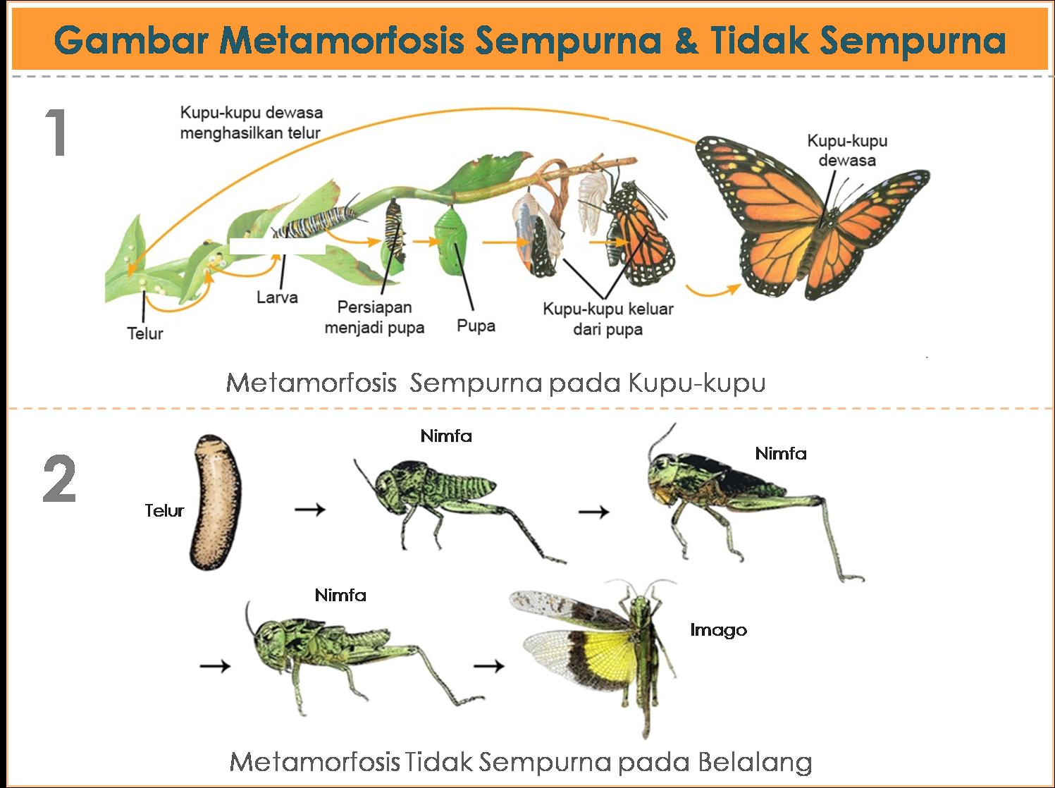 Gambar metamorfosis daur hidup pada serangga dan amfibi freewaremini gambar metamorfosis daur hidup pada serangga dan amfibi ccuart Gallery