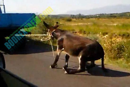 Video Seorang Petani Tak Berperasaan Menyeret Keledai ...