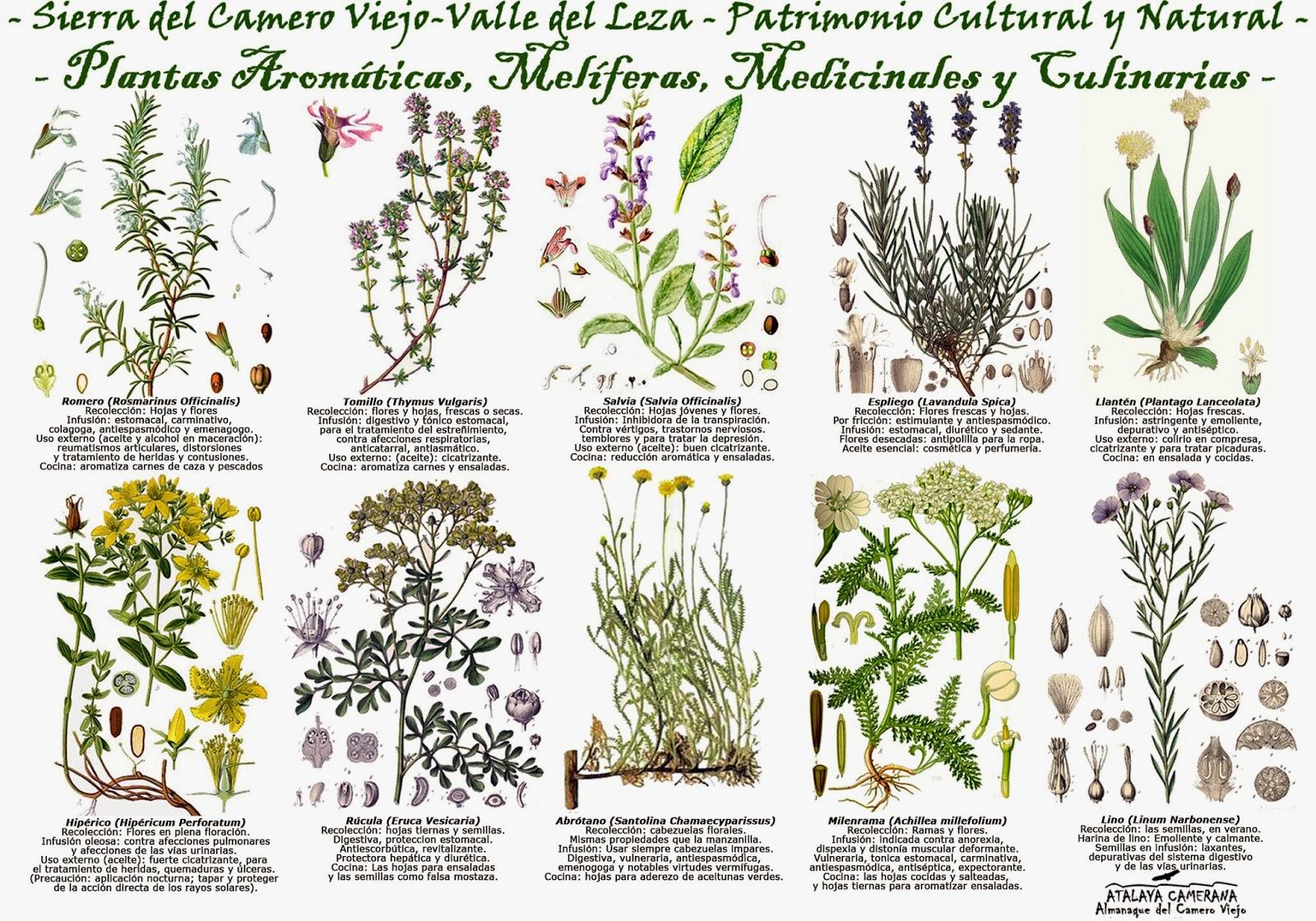 Atalaya camerana almanaque del camero viejo plantas for Plantas ornamentales y medicinales