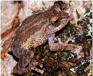 Newton Jayawardane's Shrub Frog, Pseudophilautus newtonjayawardanei, Newton Jayawardanege panduru madiya, endemic amphibian, sri lanka amphibian