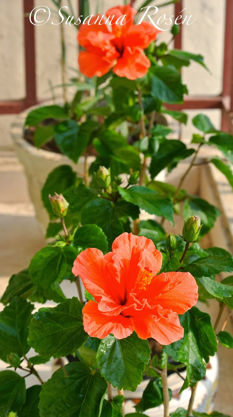 The house of susanna my life in india my christmas hibiscus is of course they didbig beautiful flowers and lots of buds waiting to bloom izmirmasajfo