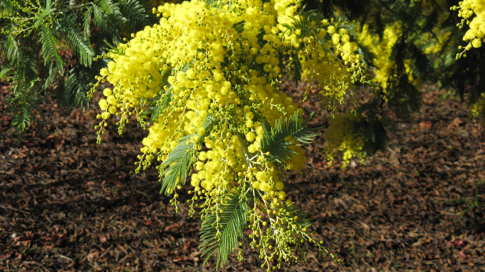 Trees Of Santa Cruz County Acacia Dealbata Silver Wattle