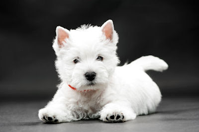 Regalo cachorro Terrier en color blanco - Mascotas - White Puppies
