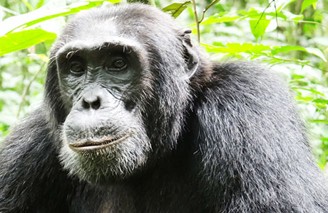 Kampala, kasenyi, katara, katwe salt lake, kazinga channel, kibale, Kibale chimpanzee tracking, kibale national park, kigali city tour, kigali genocide memorial, kigali serena hotel, Kiharo Camp 3, kinigi guest house, kyambura chimpanzee, kyambura gorge, kyaninga lodge, la palme hotel, Lake bunyonyi, Lake Mburo, lake mburo national park, lake mburo wildlife, lake Victoria fishing, LakeMburo national park, Land cruiser, land-cruisers, launch, lions, lodge, luxury gorilla tour, margheriata, mihingo lodge, mille colline, mountain gorilla view lodge, mountain gorillas Trekking, mountain hike, muhavura, muhavura lodge, Murchison falls, Murchison falls national park, mweya safari, mweya safari lodge, ndali lodge, nile parch, Nile safari, nyabitaba camp, Nyungwe forest, nyungwe forest chimps trek, nyungwe forest lodge, nyungwe forest national park, nyungwe hill top view, nyungwe tour, paraa safari lodge, park fees, PNV, Prado, primate lodge, primates, primates kazinga channel, primates lions, primates wildlife safaris, queen Elizabeth, Queen Elizabeth N.P, Queen Elizabeth national park, rafting, rhino, ruhija gorilla friends, rushaga,