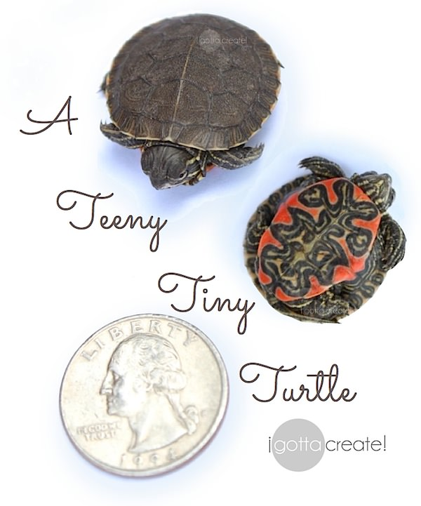 This #turtle is the size of a quarter!  Awwww…  | Turtle symbolism and facts at I Gotta Create!