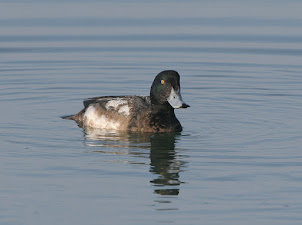 Scaup (2012)