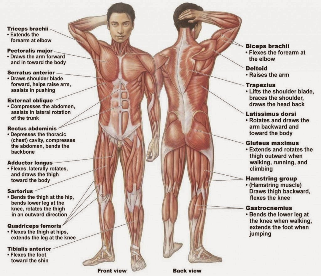 Worksheets Muscle Identification Worksheet researching the muscular system structures and functions create muscle structure
