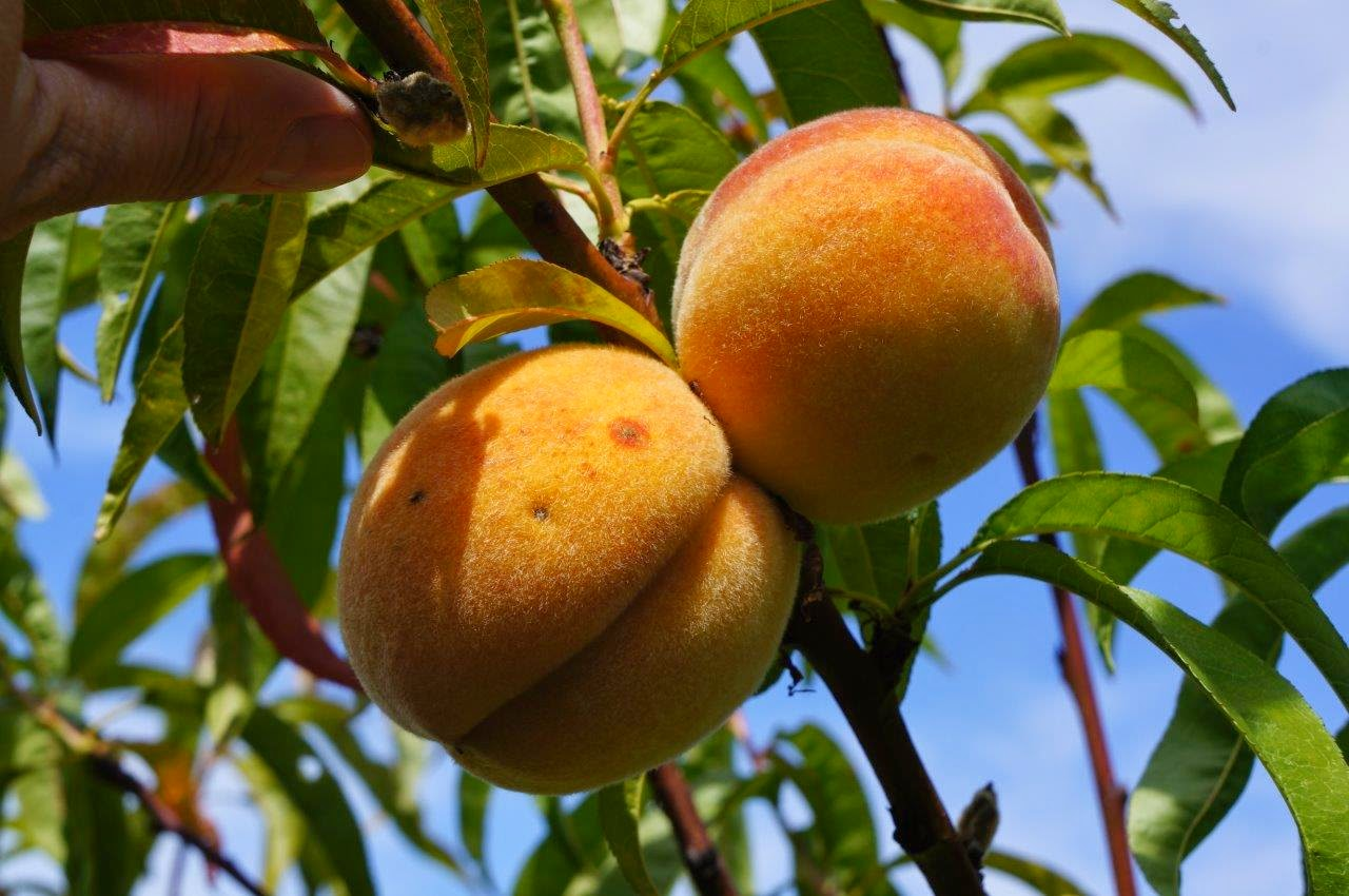 how to grow peaches from the pit