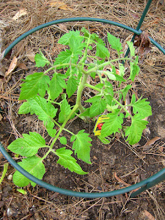 A young tomato start just planted in garden