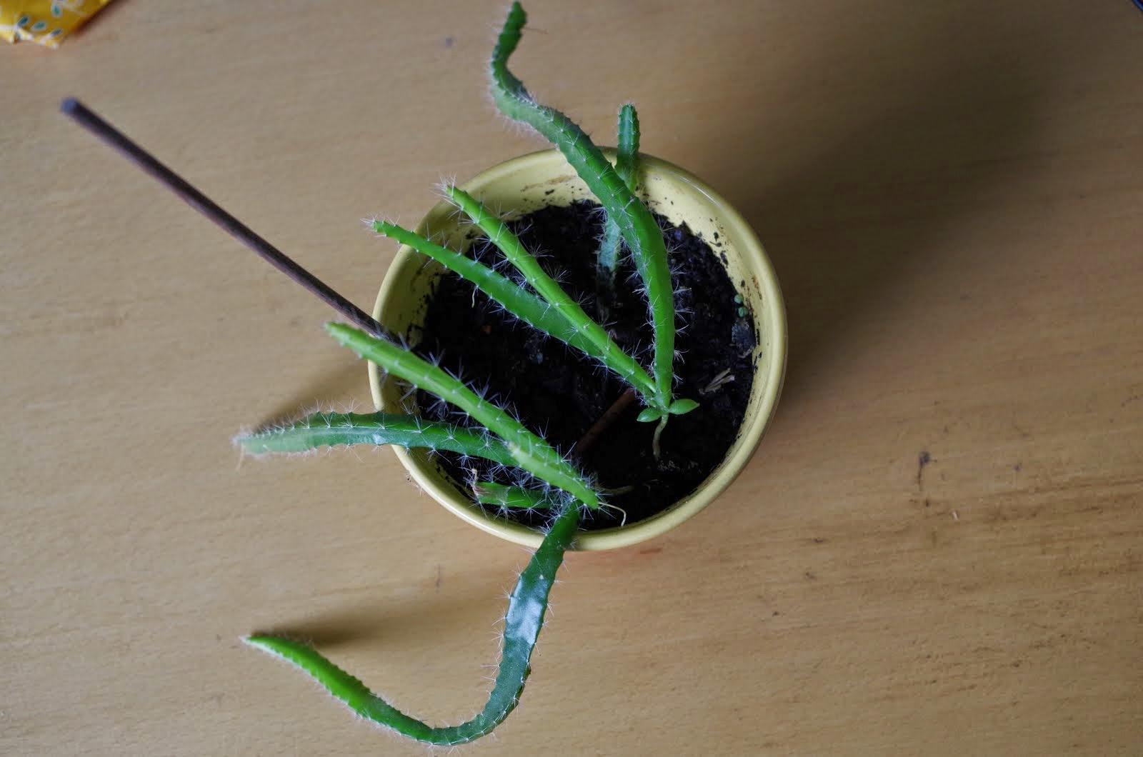 pitahaya vom kern zur pflanze. Black Bedroom Furniture Sets. Home Design Ideas