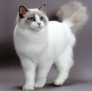 ragdoll cats breed pets animal wallpaper picture