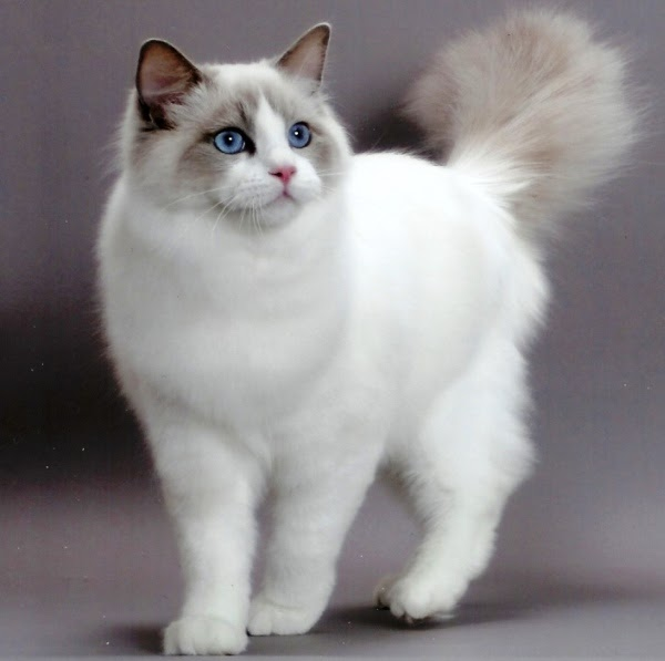 Animal Photo Ragdoll Cats Species