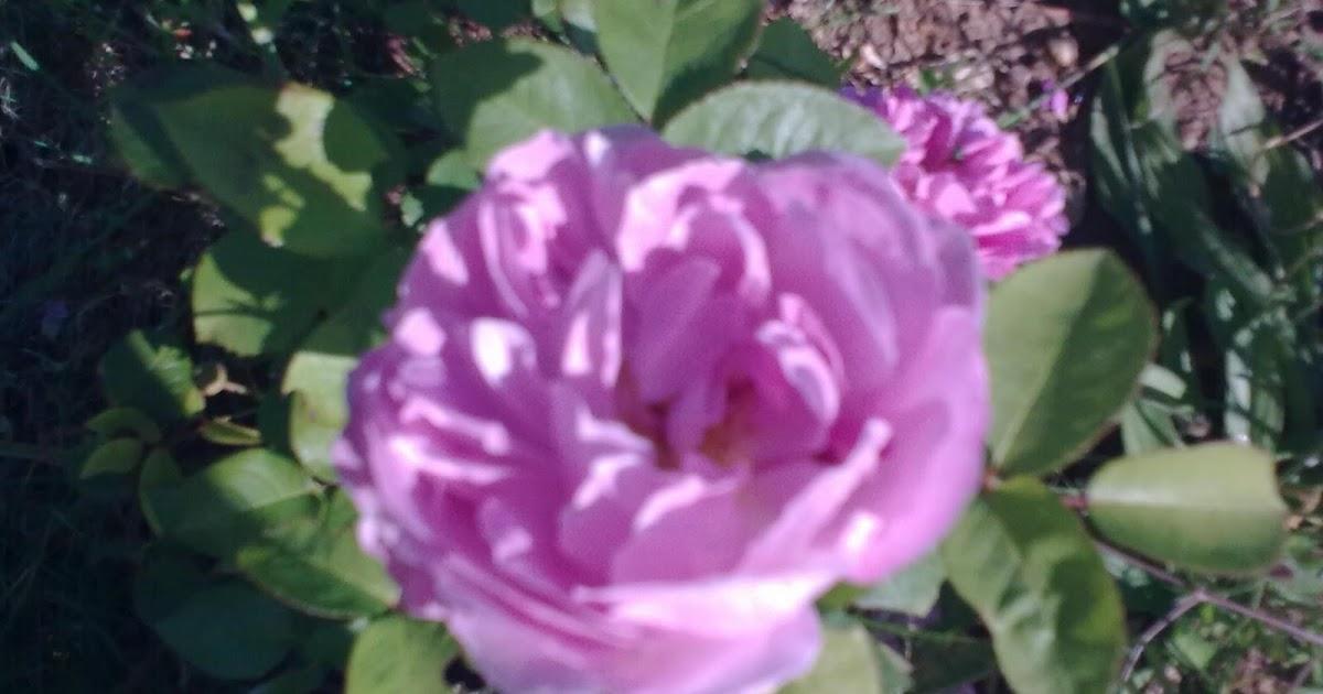 Jardin de fleurs tailler les rosiers - Tailler les rosiers ...