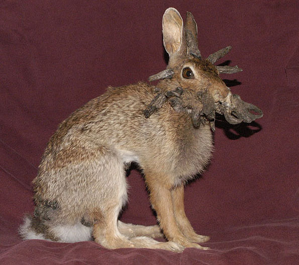 middleschool-enthusiasm: the real jackalope... is a sad case