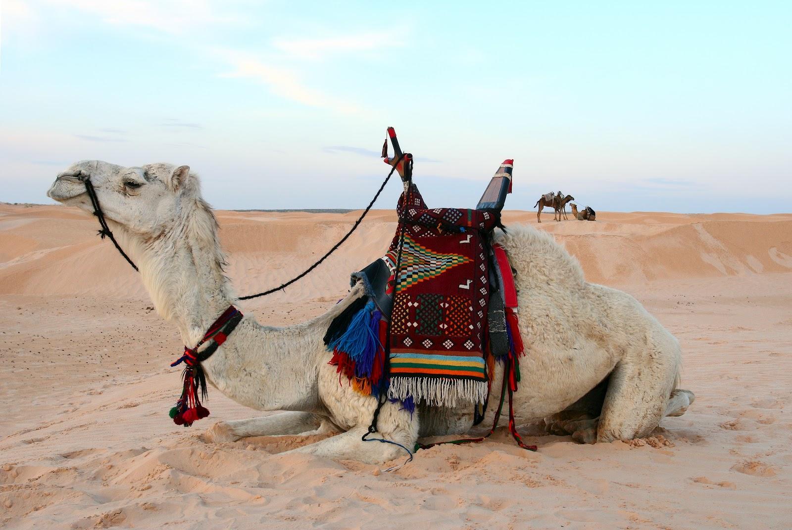 http://4.bp.blogspot.com/-zQ92ubb8a3Y/T3G4PxSG39I/AAAAAAAAEGw/V8In6CxQlA4/s1600/camels+1.jpg