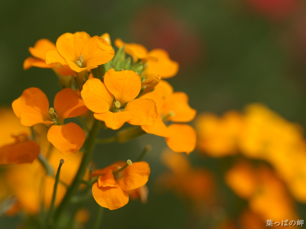 http://4.bp.blogspot.com/-zQDqKjX76fg/TfZTaZdYXQI/AAAAAAAAAJ4/a05I8PUR7S0/s1600/Orange+Flowers+Wallpaper11.jpg