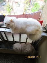 "Monday(11-2-2013):-""COPYCAT"" Tomcat Matata."