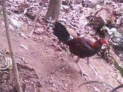 Pollo Zambo quemao