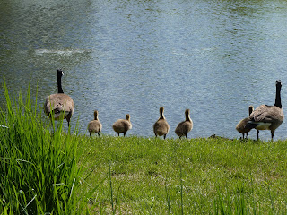 goose family at pond