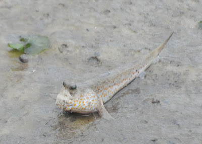 Gold-spotted Mudskipper (Periophthalmus chrysospilos)
