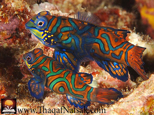 أجمل 10 أسماك ملونة في عالم البحار '' بالصور '' 2.jpg