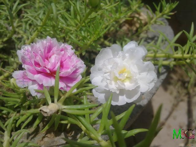 Moss Rose, White Moss Rose, Pink Moss Rose, Portaluca Grandiflora