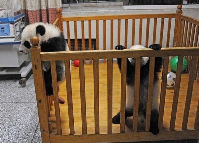Panda Kembar Lucu