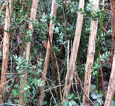 Butcher's Broom growing through a fence at the edge of West Wickham Common