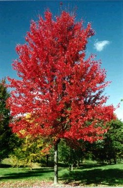 Autumn Blaze Maple Trees8