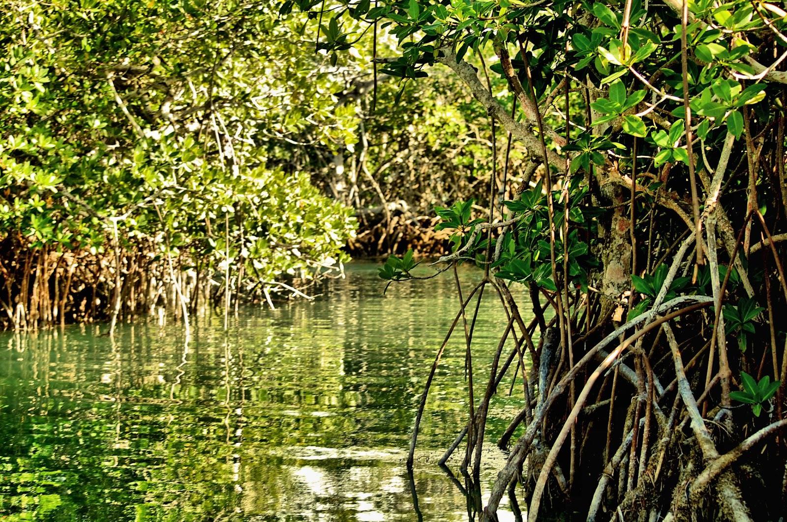 {Image: Mangroves+4cc.jpg}