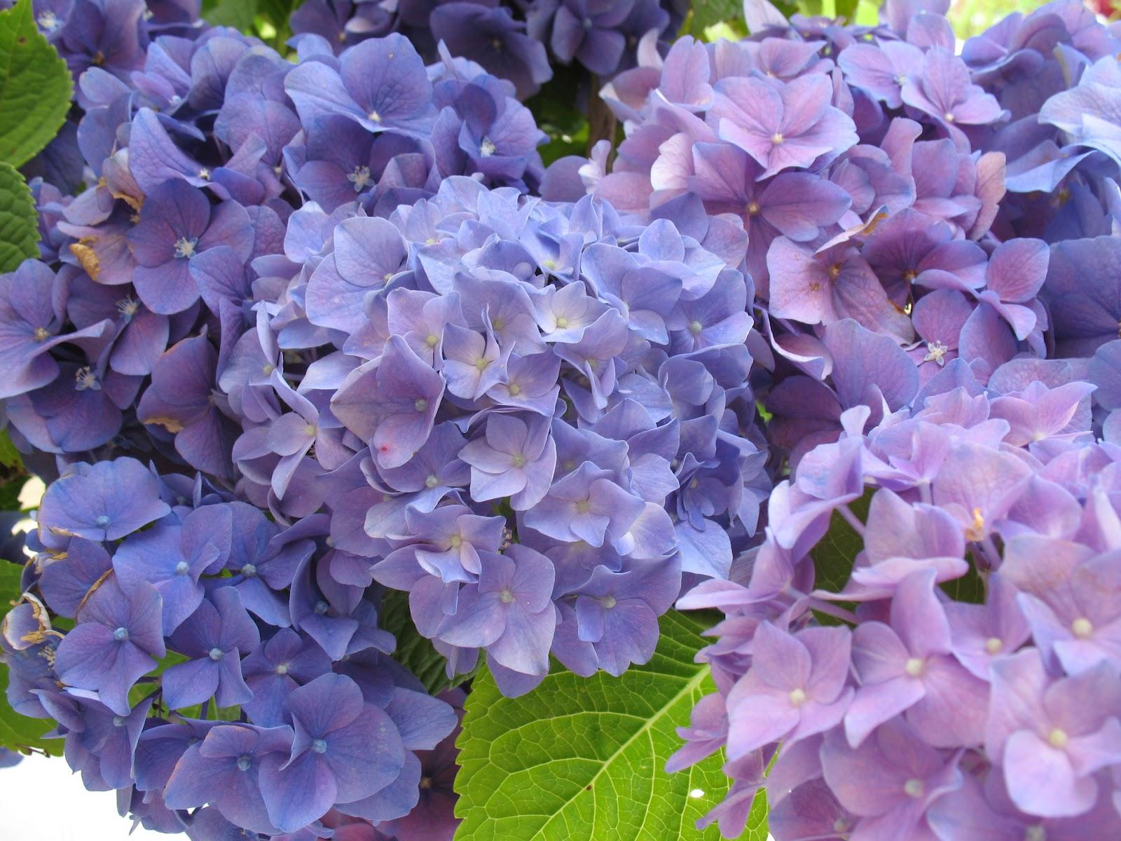 Roses du jardin ch neland bouquet d 39 hortensias - Quand tailler un hortensia ...