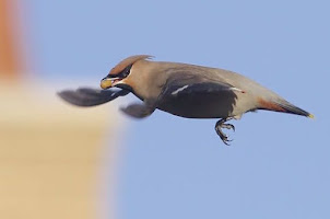 Waxwing at Roade