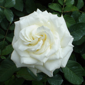 Aromas de bienestar flores y sus significados - Significado rosas blancas ...
