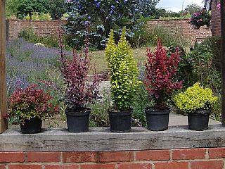 Los arbustos de crecimiento y las plantas ornamentales en for Arbustos ornamentales de exterior