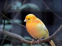 8 Perbedaan Burung Kenari Jantan dan Betina