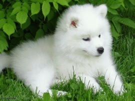 samoyed_dog_desktop_wallpaper-t2