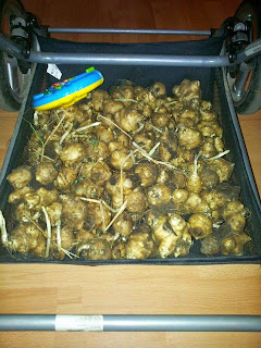 Saldžiosios bulvės