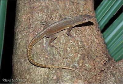 Northern Hispaniolan green Anole