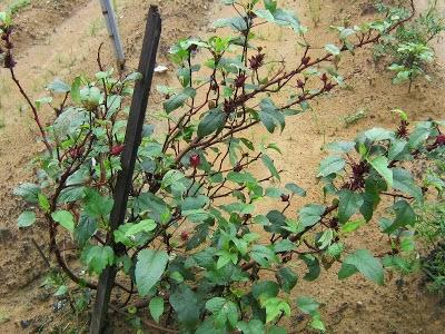 hibiscus plantation