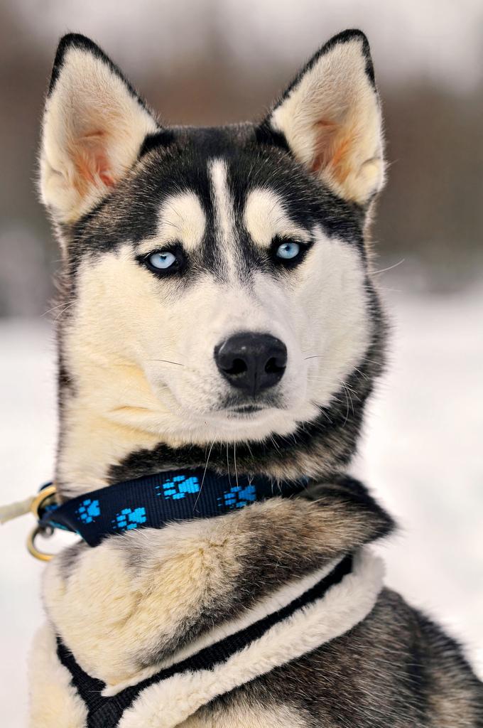 Image Result For Siberian Husky Breeders
