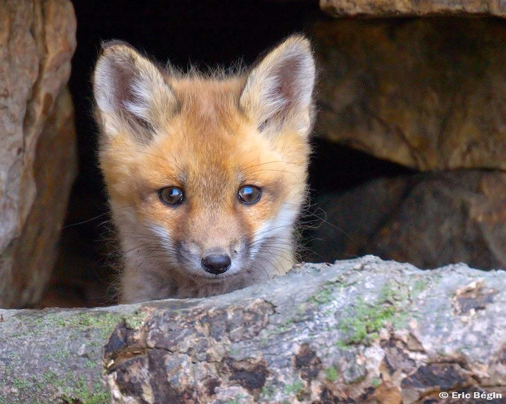 Büdinger Jagdaktionismus fördert Ausbreitung von Wildtierkrankheiten