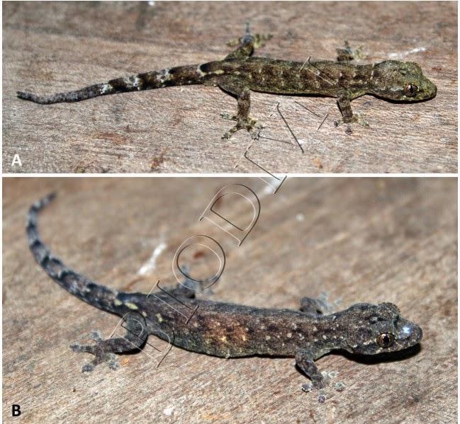 thach-sung-dep-Hemiphyllodactylus-kiziriani-1