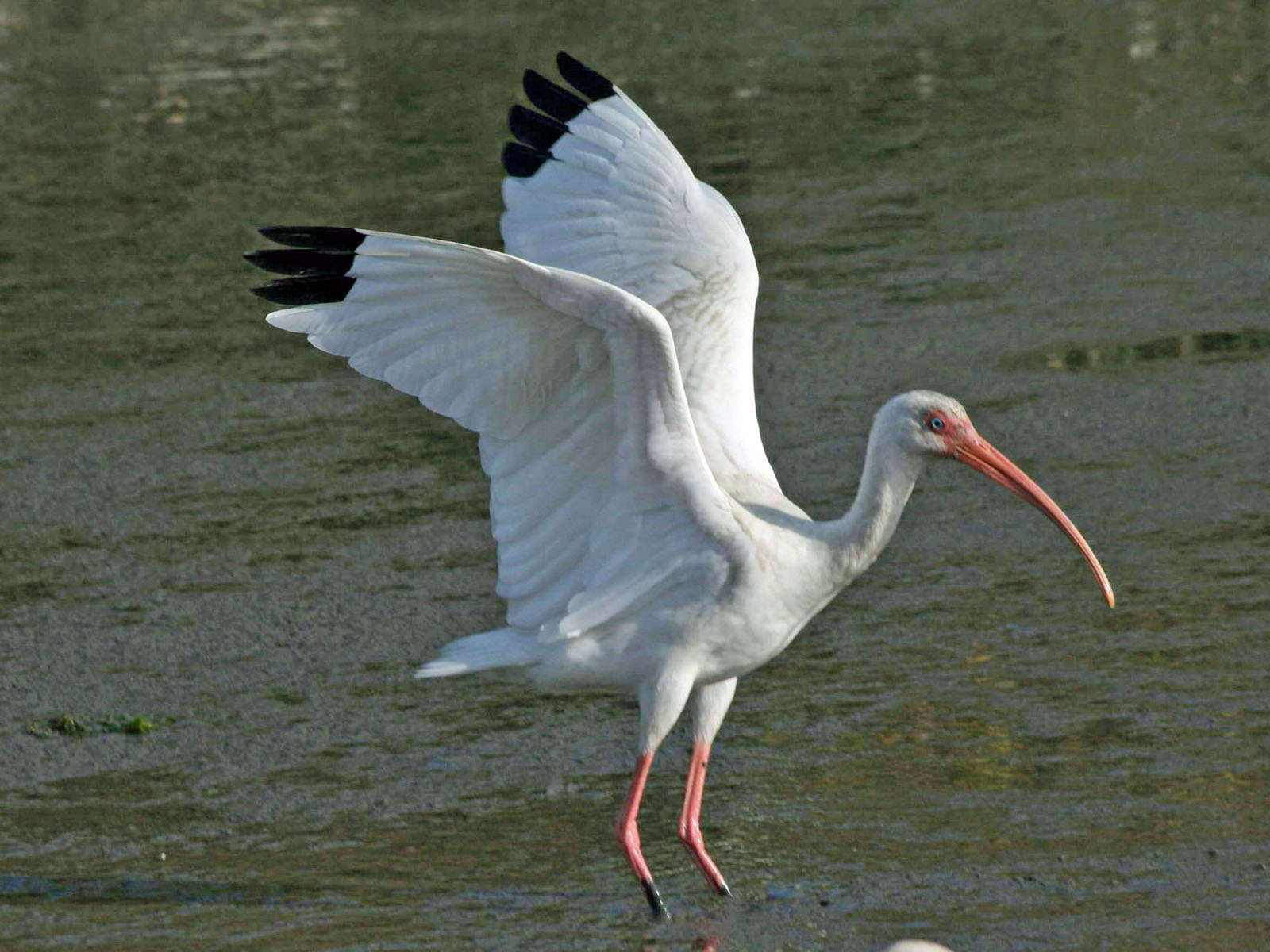 white ibis pictures