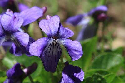 Viola adunca (hookedspur violet)