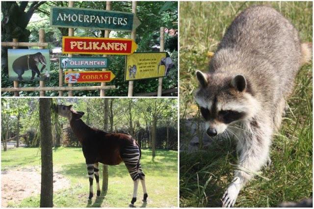 Carteles animales, mapache en el Zoológico de Rotterdam o Diergaarde Blijdorp
